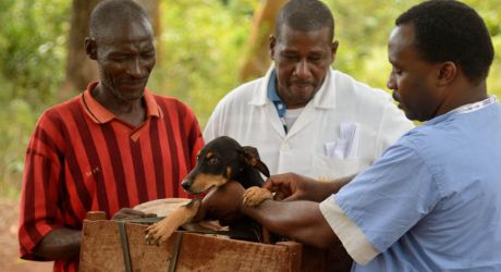 Kenyan Dogs being vaccinated against Rabies pic